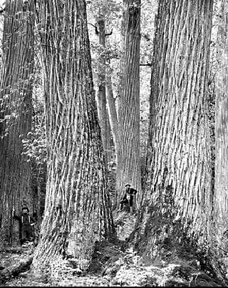 Historic Tree in Forest